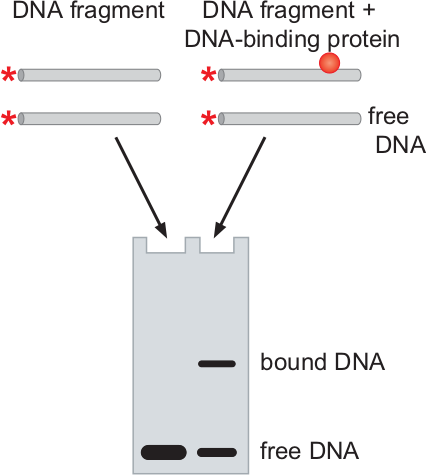 electrophoretic mobility shift assay The dna-binding assay using nondenaturing polyacrylamide gel electrophoresis (page) provides a simple, rapid, and extremely sensitive method for detecting sequence.
