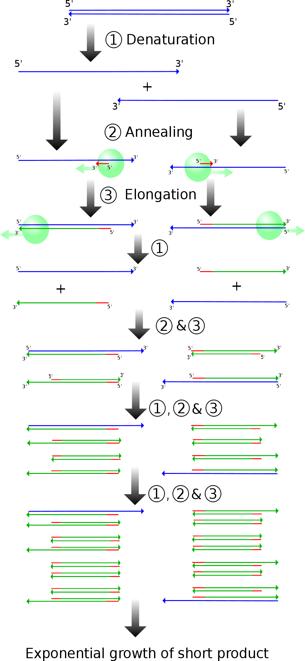 Common Techniques In Molecular Biology Andrew Gibiansky Block Diagram Fluid Inventor Ab Of Pcr Products And Stages Madeleine Price Ball Creative Commons License